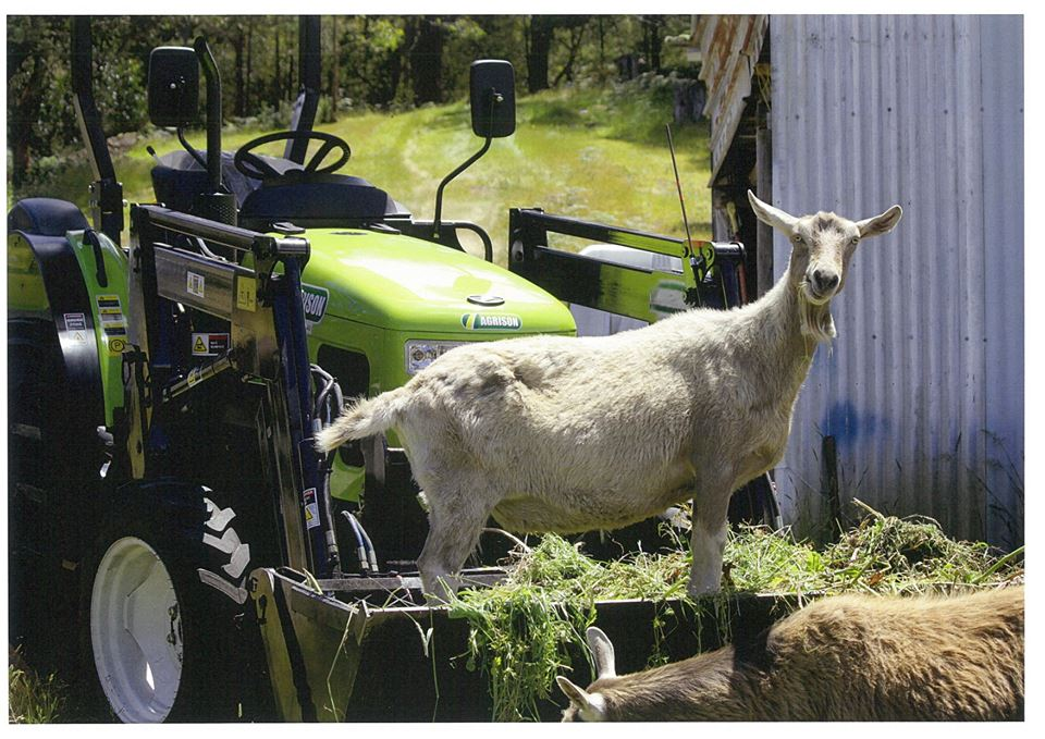 goat on agrison tractor